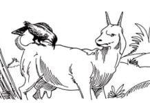 दुष्ट कौआ सीधी बकरी